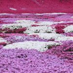 芝桜-2910-