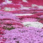 芝桜-2911-